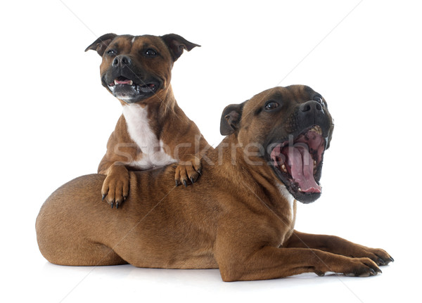 Staffordshire bull terriers Stock photo © cynoclub