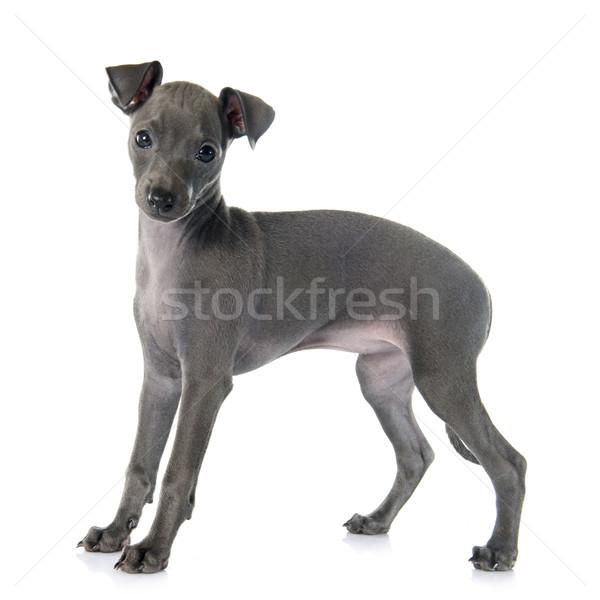 puppy italian greyhound Stock photo © cynoclub