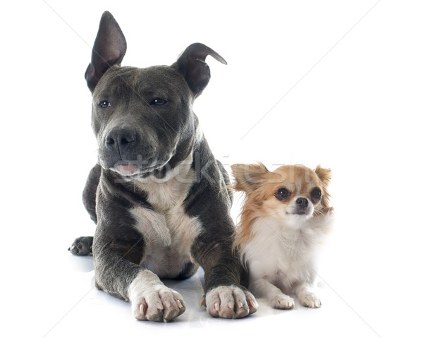 puppy american staffordshire terrier and chihuahua Stock photo © cynoclub