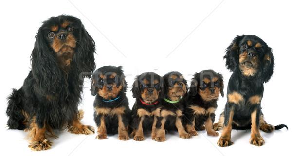 family cavalier king charles Stock photo © cynoclub