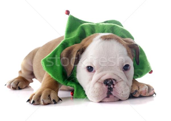 christmas puppy english bulldog Stock photo © cynoclub