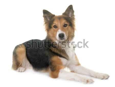 belgian shepherd dog and chihuahua Stock photo © cynoclub