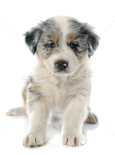 Cachorro australiano pastor blanco ojos jóvenes Foto stock © cynoclub