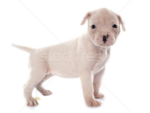 Cucciolo american bulldog cane giovani animale pet Foto d'archivio © cynoclub