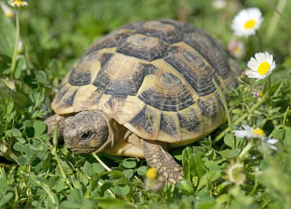 Kaplumbağa çim gün bahar hayvan Stok fotoğraf © cynoclub