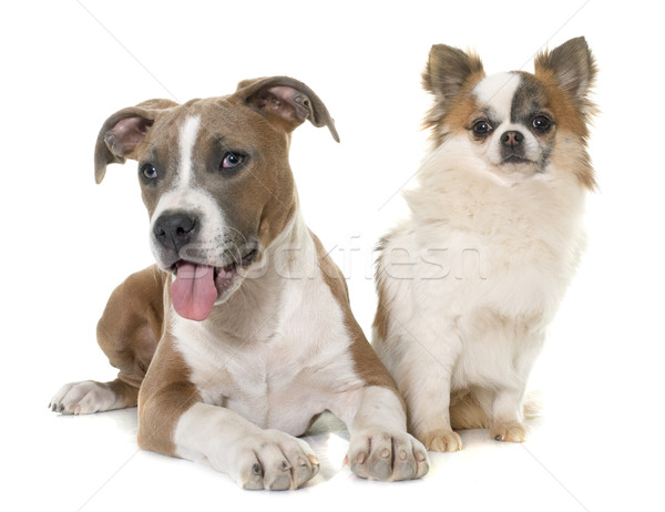 Kutyakölyök staffordshire terrier kutya fiatal díszállat fehér háttér Stock fotó © cynoclub