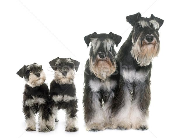 Stock fotó: Család · miniatűr · feketefehér · fekete · stúdió · kutyakölyök
