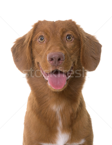 Nova Scotia Duck Tolling Retriever Stock photo © cynoclub