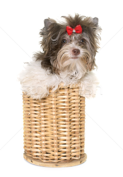 Foto stock: Cachorro · yorkshire · terrier · blanco · perro · cesta