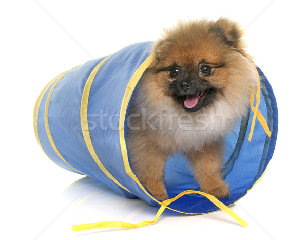 young pomeranian dog in tunnel Stock photo © cynoclub
