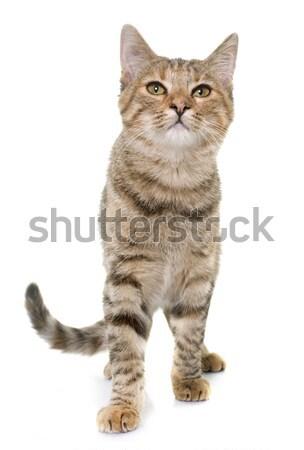 tabby kitten in studio Stock photo © cynoclub