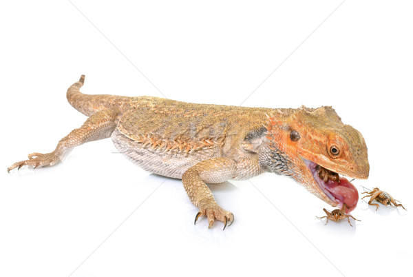 Barbudo dragões alimentação críquete branco Foto stock © cynoclub