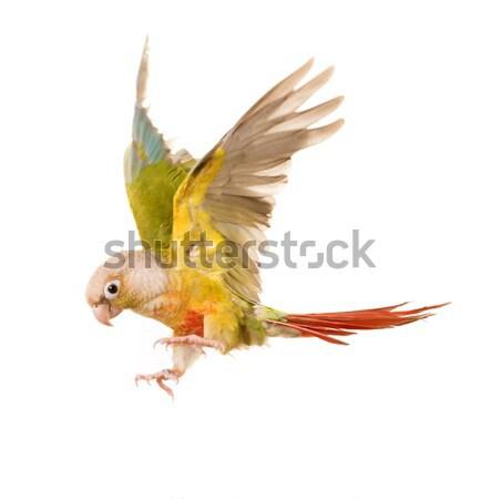 flying Green-cheeked parakeet Stock photo © cynoclub