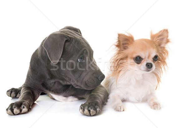puppy staffordshire bull terrier and chihuahua Stock photo © cynoclub