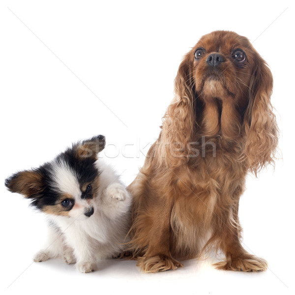 papillon puppy and cavalier king charles Stock photo © cynoclub