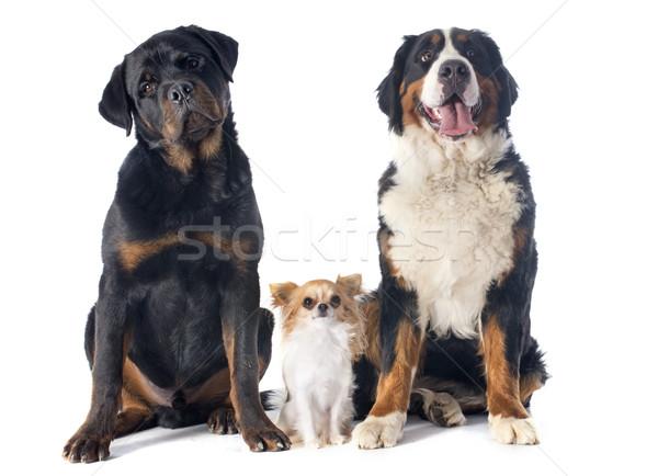 Trzy psów portret berneński pies pasterski rottweiler Zdjęcia stock © cynoclub