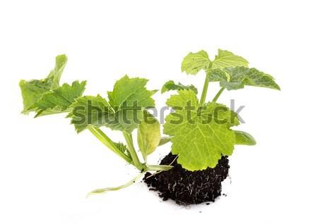 Salvia officinalis Stock photo © cynoclub