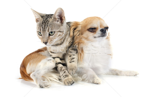 bengal cat and chihuahua Stock photo © cynoclub