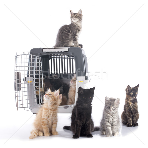 maine coon kitten and kennel Stock photo © cynoclub