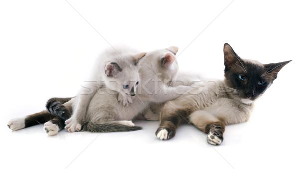 Sziámi macska gyönyörű fajtiszta kiscica macska anya Stock fotó © cynoclub