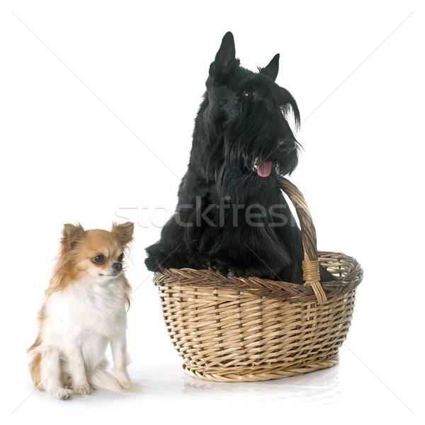 Stock fotó: Terrier · fekete · kosár · díszállat · fehér · háttér · kettő