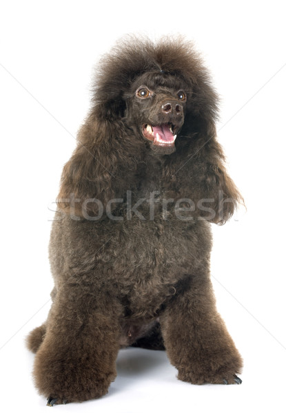 brown poodle Stock photo © cynoclub