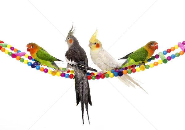 lovebirds and cockatiel Stock photo © cynoclub