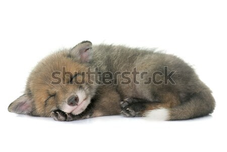 Slapen Rood vos welp witte jonge Stockfoto © cynoclub