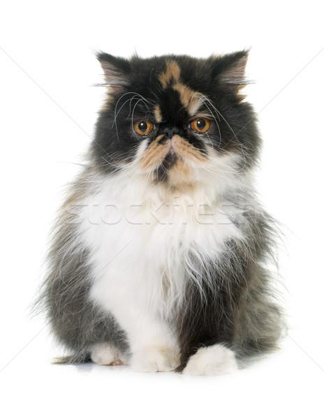 トリコロール ペルシャ猫 白 女性 スタジオ ペット ストックフォト © cynoclub