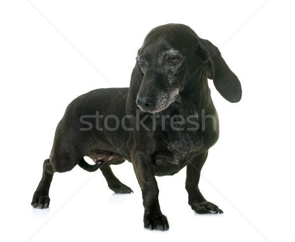 old black dachshund Stock photo © cynoclub