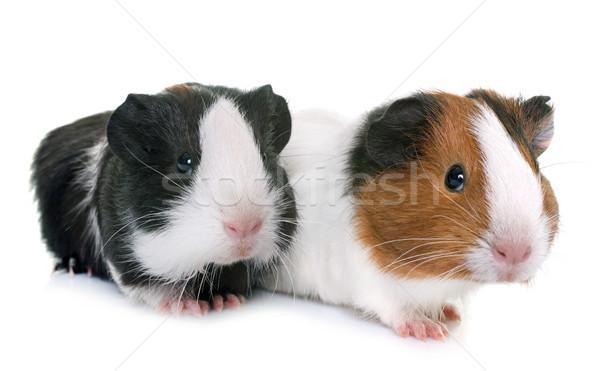 ストックフォト: 豚 · スタジオ · 白 · ファーム · 小さな · 動物