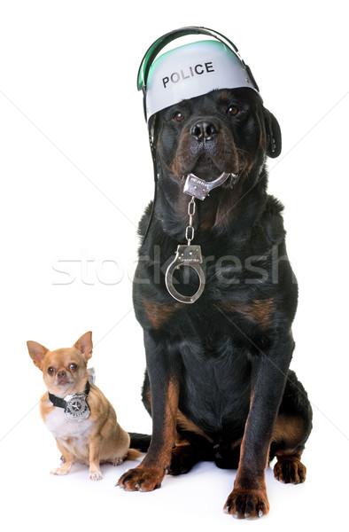 警察 犬 ロットワイラー スタジオ ヘルメット ペット ストックフォト © cynoclub