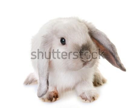 мини студию кролик Bunny белый ПЭТ Сток-фото © cynoclub
