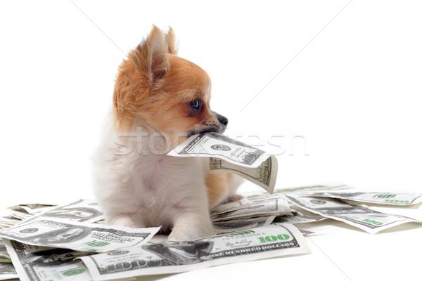 chihuahua and dollars Stock photo © cynoclub