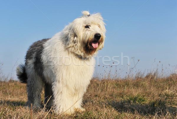Oude Engels herdershond hemel hond Stockfoto © cynoclub