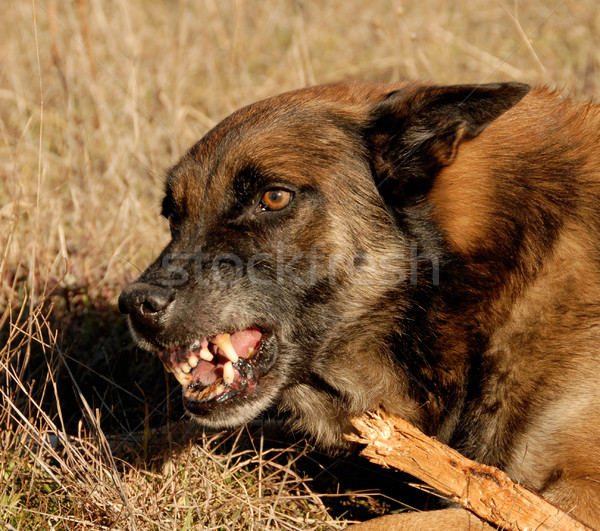 dangerous belgian shepherd Stock photo © cynoclub