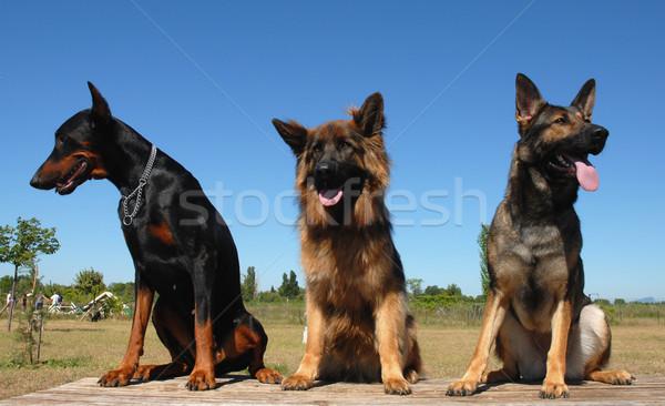 Zdjęcia stock: Straży · psów · posiedzenia · psa