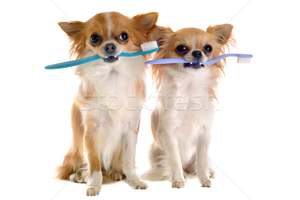 chihuahuas and toothbrush  Stock photo © cynoclub