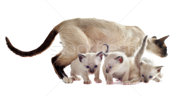 Siamese kitten and mother Stock photo © cynoclub