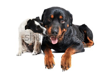 Rottweiler terriyer portre beyaz siyah Stok fotoğraf © cynoclub
