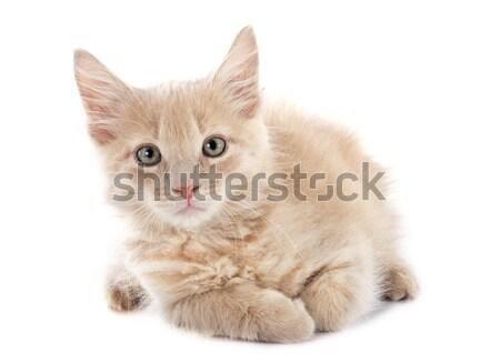 Maine kotek portret biały kot Zdjęcia stock © cynoclub