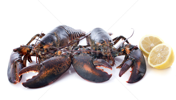alive lobsters Stock photo © cynoclub