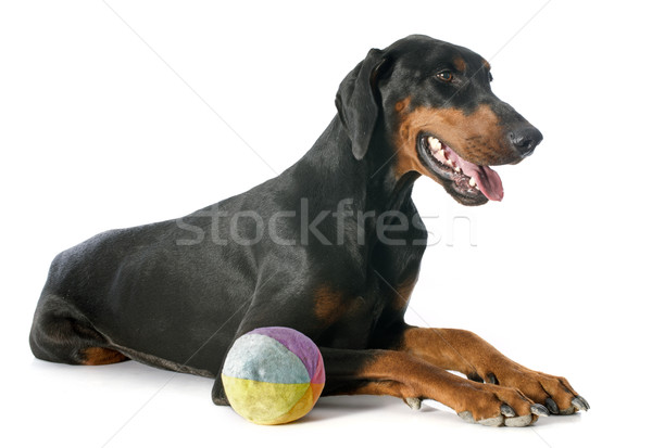 doberman pinscher Stock photo © cynoclub