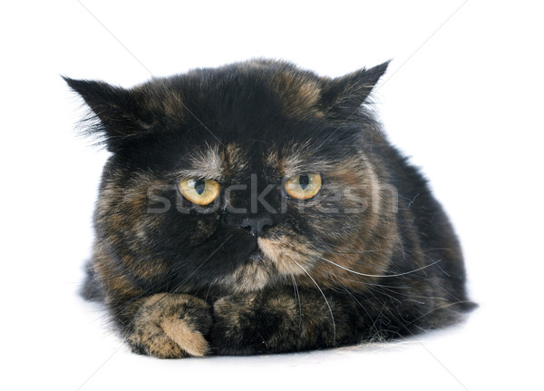 exotic shorthair cat Stock photo © cynoclub