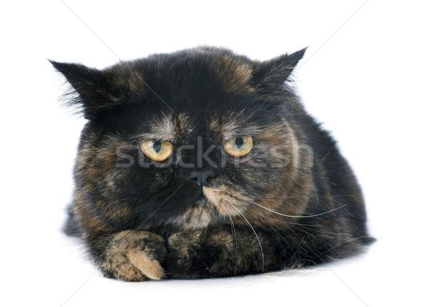 エキゾチック ショートヘア 猫 白 ストックフォト © cynoclub