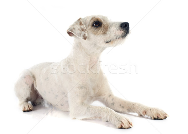 parson russell terrier Stock photo © cynoclub