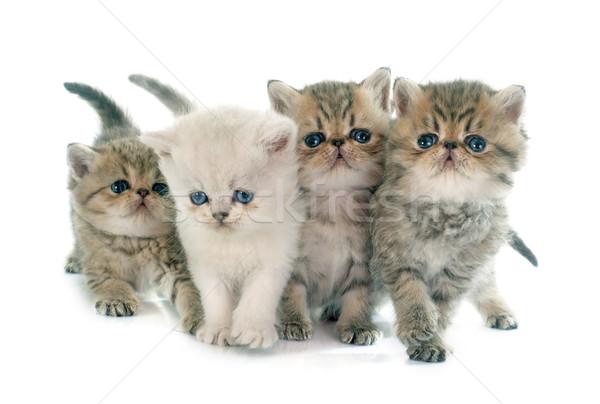 子猫 エキゾチック ショートヘア 白 猫 ペット ストックフォト © cynoclub