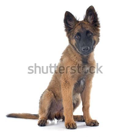 Belga juhászkutya kutyakölyök kutya állat díszállat fehér háttér Stock fotó © cynoclub