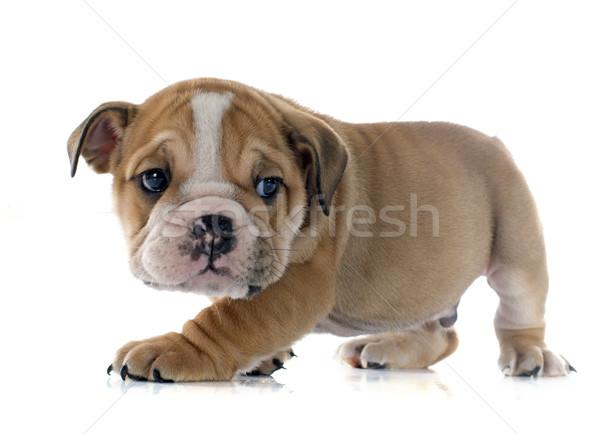 Stock photo: puppy english bulldog