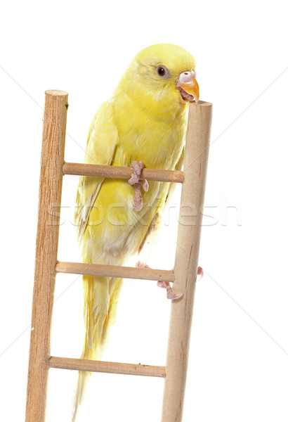 common pet parakeet Stock photo © cynoclub